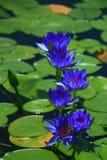 Blauwe lotusbloem Royalty-vrije Stock Foto's