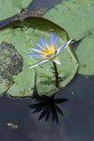 Blauwe lotusbloem bij een kalm meer Stock Afbeeldingen