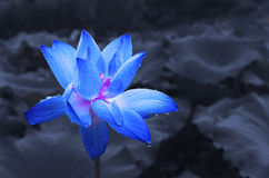 Blauwe lotusbloem met waterdrop royalty-vrije stock foto