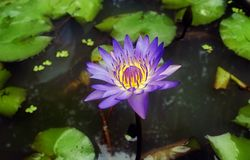 Blauwe lotusbloem op het donkere water Stock Foto