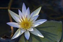 Blauwe lotusbloem op zeer donkere wateren van het meer Stock Foto's