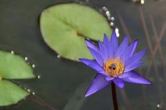 Blauwe lotusbloem in vijver Stock Afbeelding