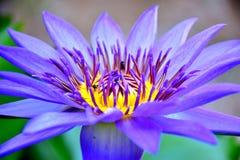 Blauwe lotusbloembloem stock fotografie
