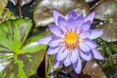 Blauwe lotusbloembloem stock foto