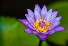 Blauwe lotusbloembloem in tuin Stock Afbeelding