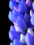 Blauwe lupine Royalty-vrije Stock Afbeeldingen