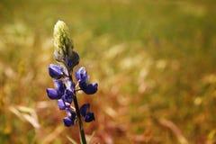 Blauwe lupine Stock Foto's