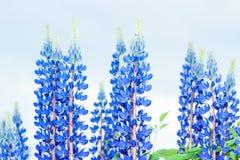 Blauwe Lupine-Bloem met Blauwe Hemel Stock Fotografie