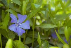 Blauwe maagdenpalmbloem op een struik Stock Foto's