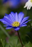 Blauwe Margriet Royalty-vrije Stock Afbeelding