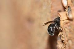 Blauwe Mason Bee/Stahlblaue Mauerbiene/Osmia caerulescens ♀ Royalty-vrije Stock Foto's