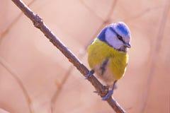 Blauwe mees stock fotografie
