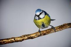 Blauwe mees Stock Foto's