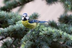 Blauwe mees in boom Stock Afbeeldingen