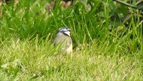 Blauwe mees Britse vogel die het nestelen materiaal in de lente zoeken stock video