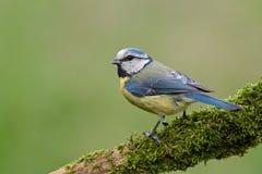 Blauwe mees (caeruleus Cyanistes). Stock Foto's