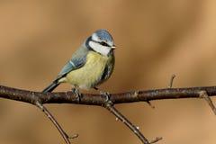 Blauwe Mees, caeruleus Cyanistes Stock Afbeelding