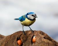 Blauwe mees, caeruleus Parus Stock Afbeeldingen