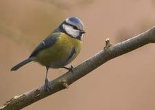 Blauwe mees (caeruleus Parus) Royalty-vrije Stock Afbeeldingen