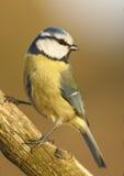 Blauwe mees (caeruleus Parus) Stock Afbeelding