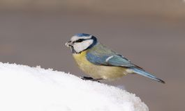 Blauwe Mees (Cyanistes-caeruleus) op Sneeuw royalty-vrije stock foto