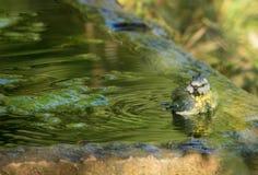 Blauwe Mees die een bad in oude steenpool nemen royalty-vrije stock fotografie