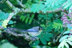 Blauwe Mees die op boomtak wordt neergestreken stock afbeeldingen