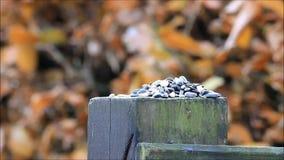 Blauwe mees die vogelzaad eten stock video