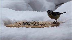 Blauwe mees die vogelzaad in sneeuw eten stock videobeelden