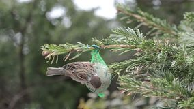 Blauwe mees en Huismus die zaden op vogel vette bal zoeken stock footage