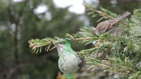 Blauwe mees en Huismus die zaden op vogel vette bal zoeken stock videobeelden