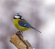 Blauwe mees op boomstam Stock Fotografie