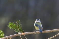 Blauwe mees op een tak Stock Foto's