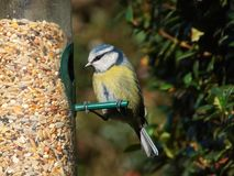 Blauwe mees op vogelvoeder stock afbeeldingen