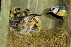 Blauwe mees, Parus-caeruleus stock foto's