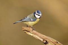 Blauwe mees, Parus-caeruleus Royalty-vrije Stock Foto