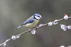 Blauwe mees, Parus-caeruleus royalty-vrije stock foto's