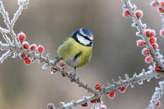 Blauwe mees, Parus-caeruleus stock afbeeldingen