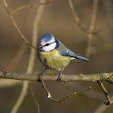 Blauwe Mees (Parus-caeruleus) Royalty-vrije Stock Afbeeldingen