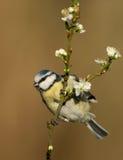 Blauwe mees (Parus-caeruleus) Stock Fotografie