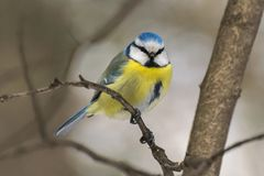 Blauwe mees, Parus-caeruleus, Cyanistes-caeruleus Stock Foto's