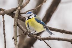 Blauwe mees, Parus-caeruleus, Cyanistes-caeruleus Royalty-vrije Stock Fotografie