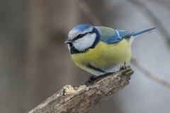 Blauwe mees, Parus-caeruleus, Cyanistes-caeruleus Royalty-vrije Stock Foto
