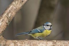 Blauwe mees, Parus-caeruleus, Cyanistes-caeruleus Royalty-vrije Stock Foto's
