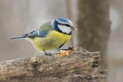 Blauwe mees, Parus-caeruleus, Cyanistes-caeruleus Stock Fotografie