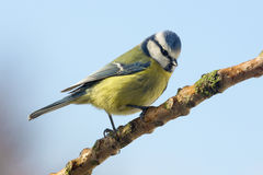 Blauwe Mees - Parus-caeruleus - Tuinvogels Stock Afbeelding