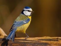 Blauwe meesvogel   stock afbeelding