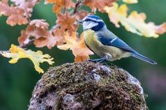 Blauwe meesvogel in aard Stock Afbeeldingen