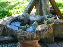 Blauwe mezen om de pool stock afbeelding