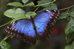 Blauwe morpho van Peleides Stock Afbeelding